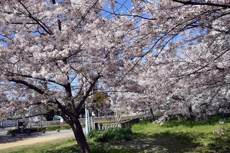 長池公園・桜 (013)