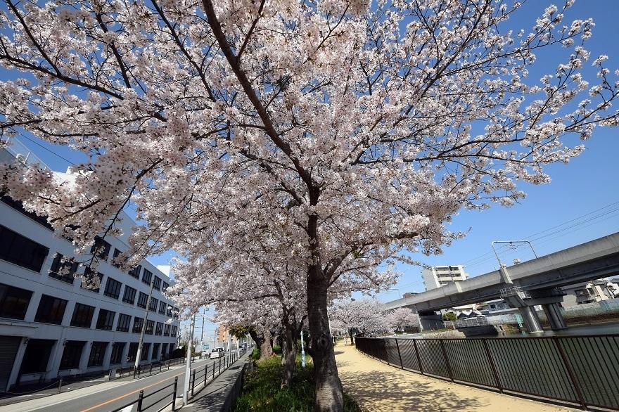 長池公園・桜 (16)
