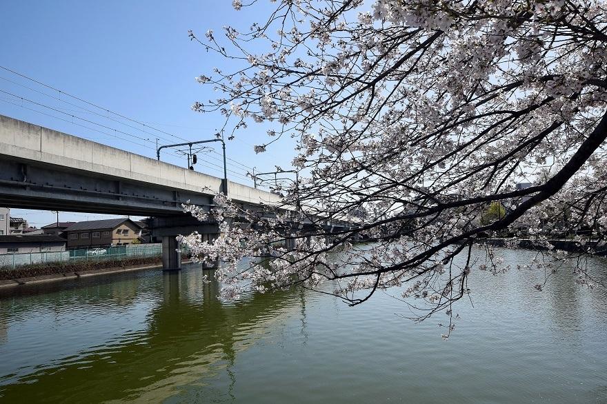 長池公園・桜 (17)
