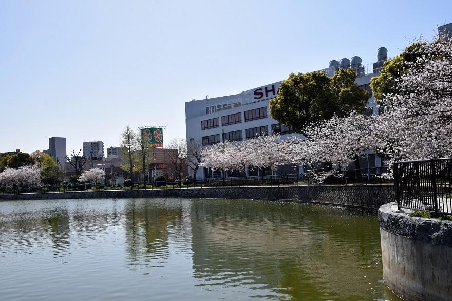 長池公園・桜 (19)
