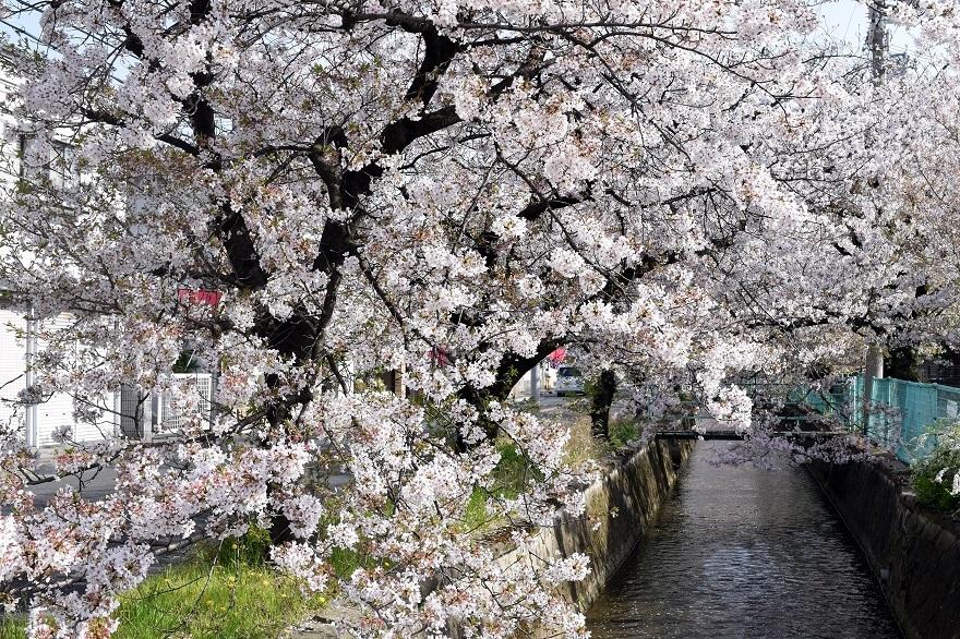 玉串川の桜 (0)