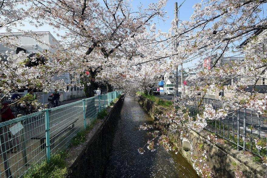 玉串川の桜 (1)