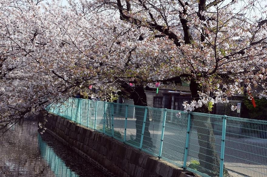 玉串川の桜 (3)