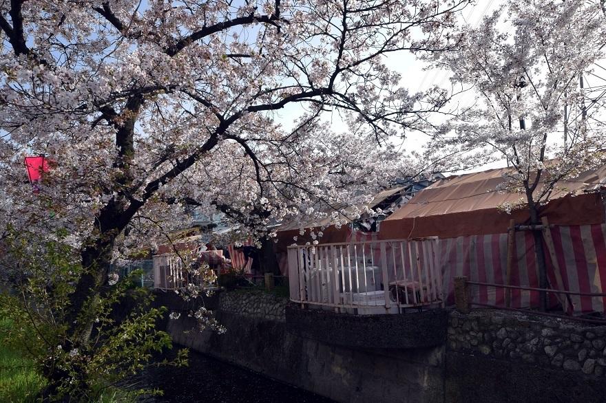 玉串川の桜 (4)