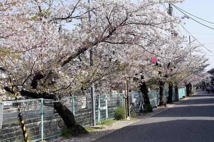 玉串川の桜 (5)