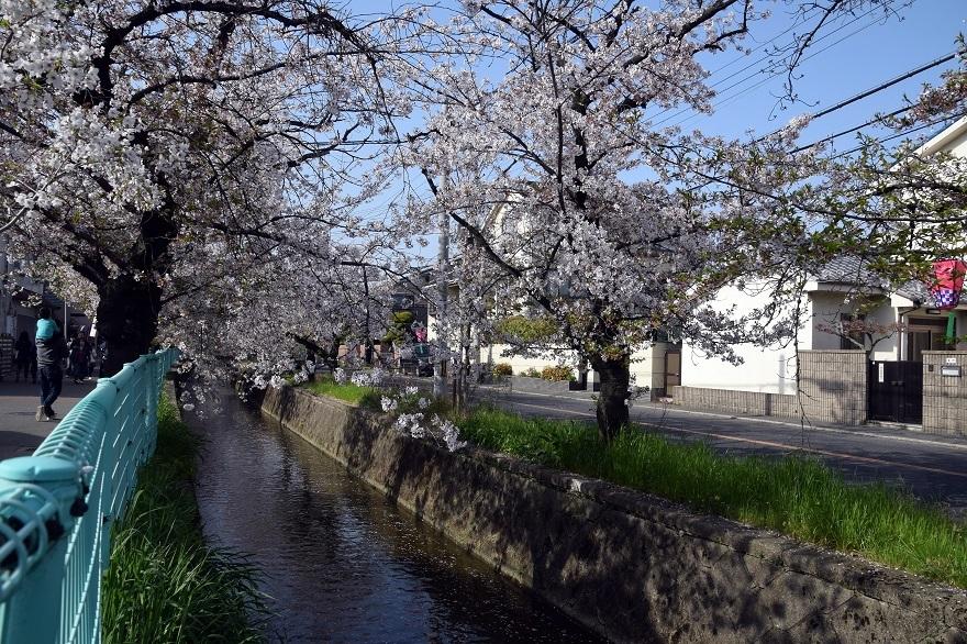 玉串川の桜 (2)