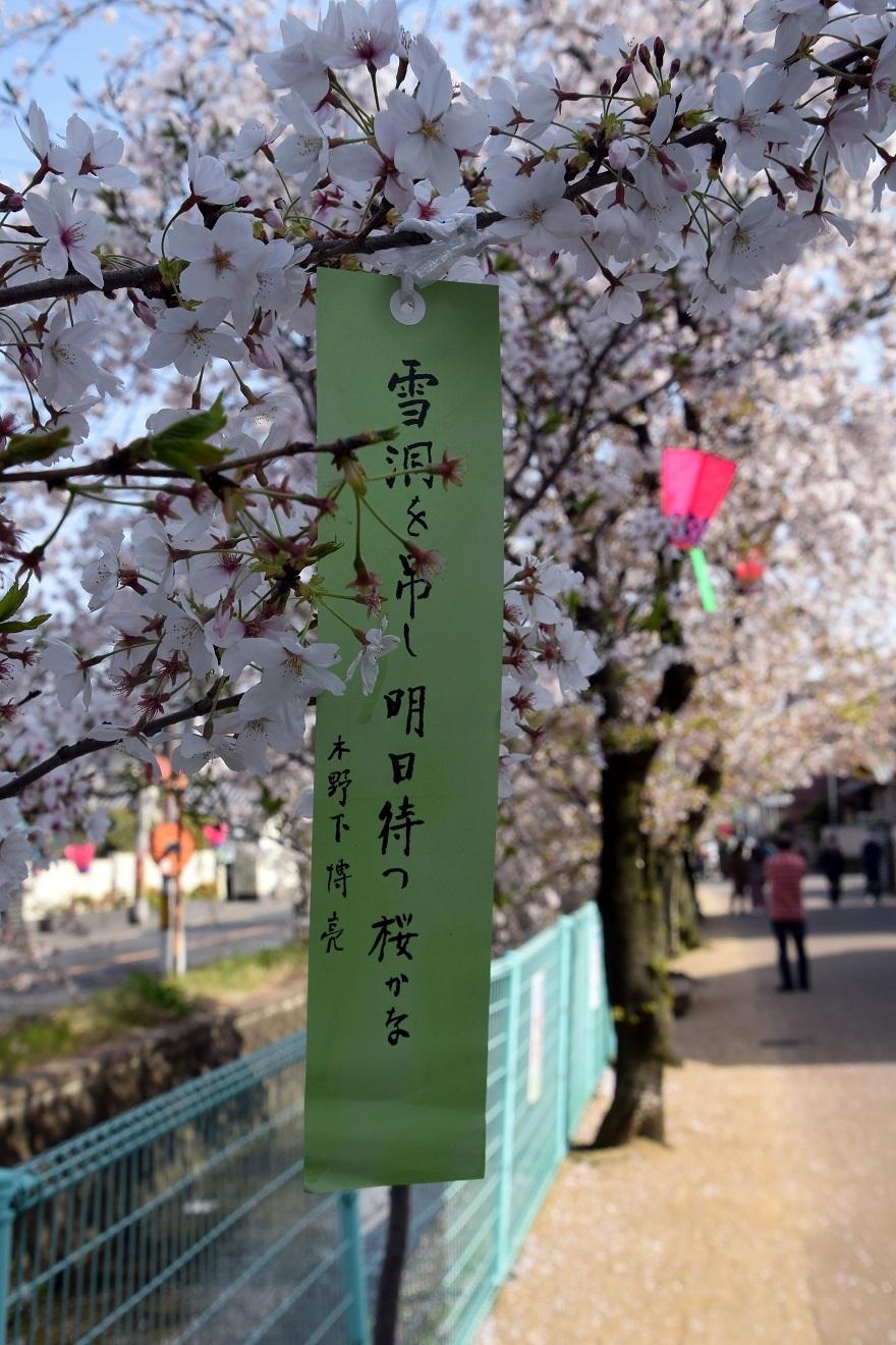 玉串川の桜 (6)