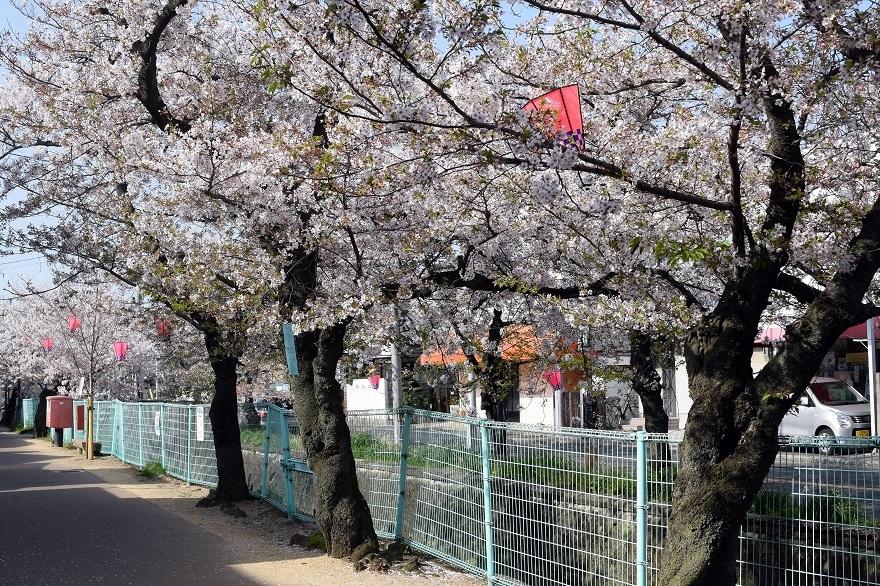 玉串川の桜 (8)