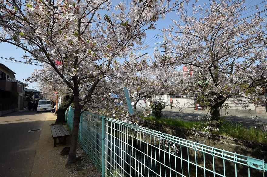 玉串川の桜 (9)