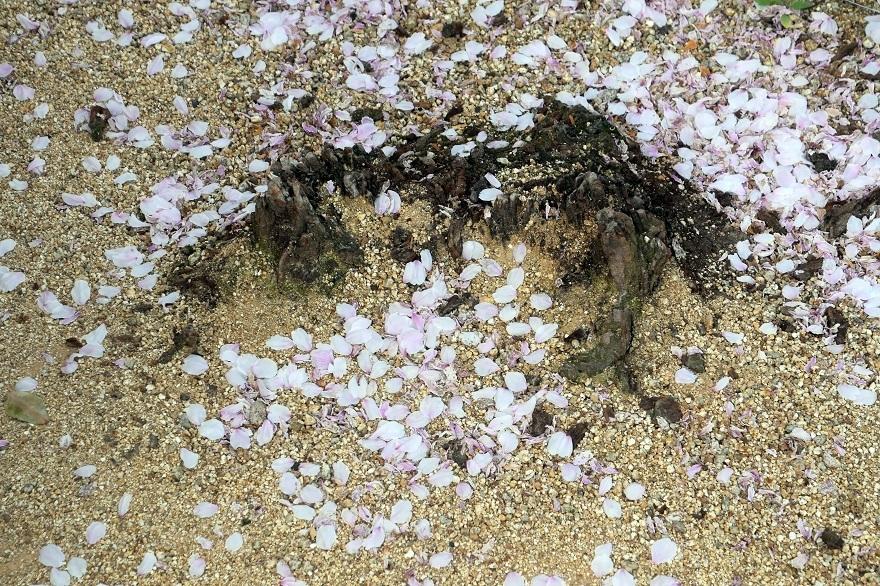 玉串川の桜 (10)