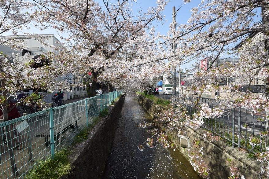 玉串川の桜 (11)
