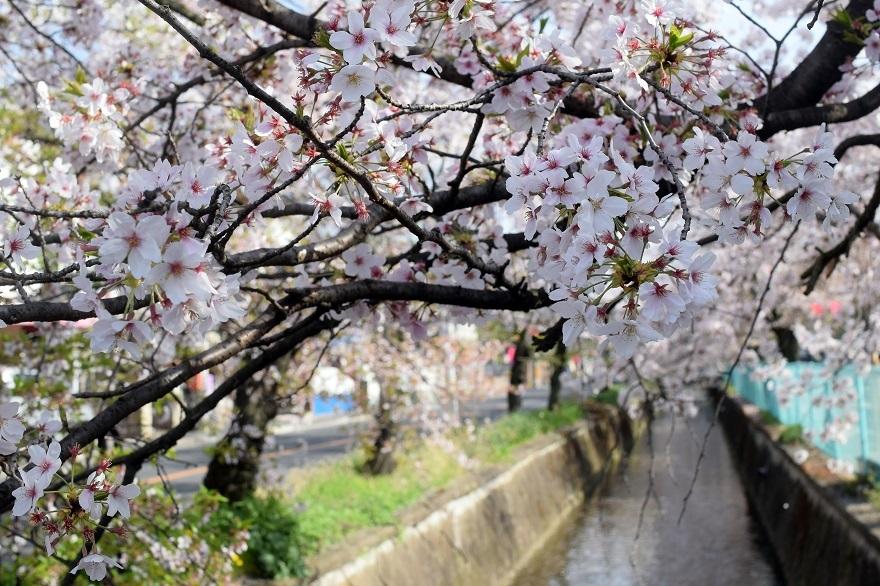 玉串川の桜 (13)