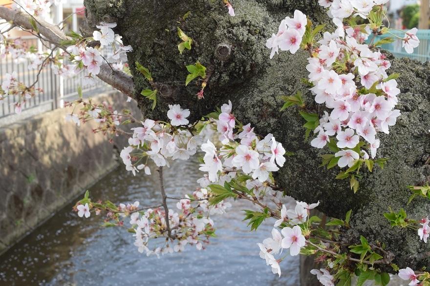 玉串川の桜 (12)