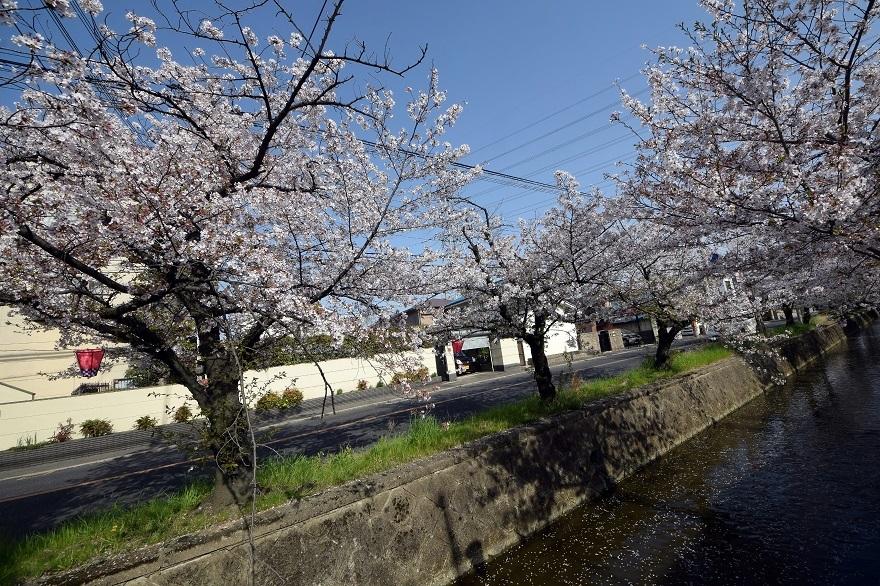 玉串川の桜 (14)