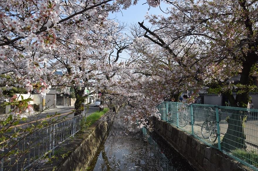 玉串川の桜 (15)