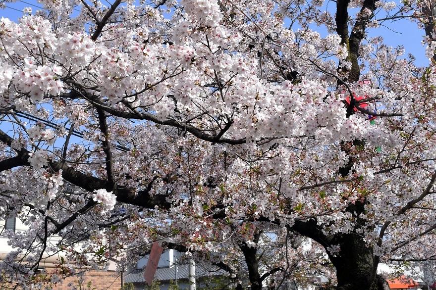 玉串川の桜 (16)
