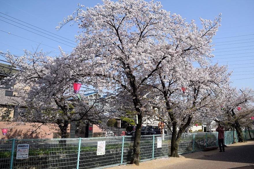 玉串川の桜 (17)