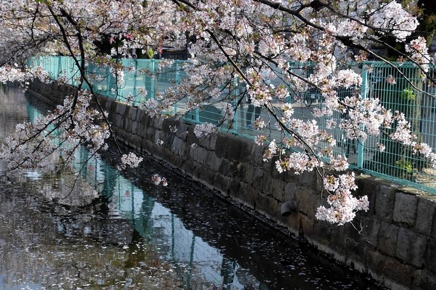 玉串川の桜 (18)