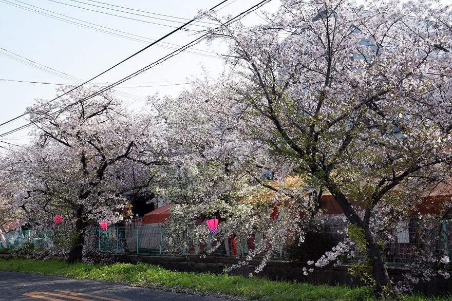 玉串川の桜 (19)