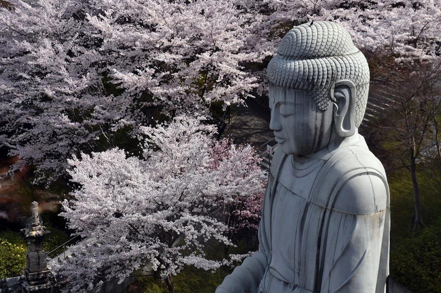 壺阪寺大仏桜 (0)