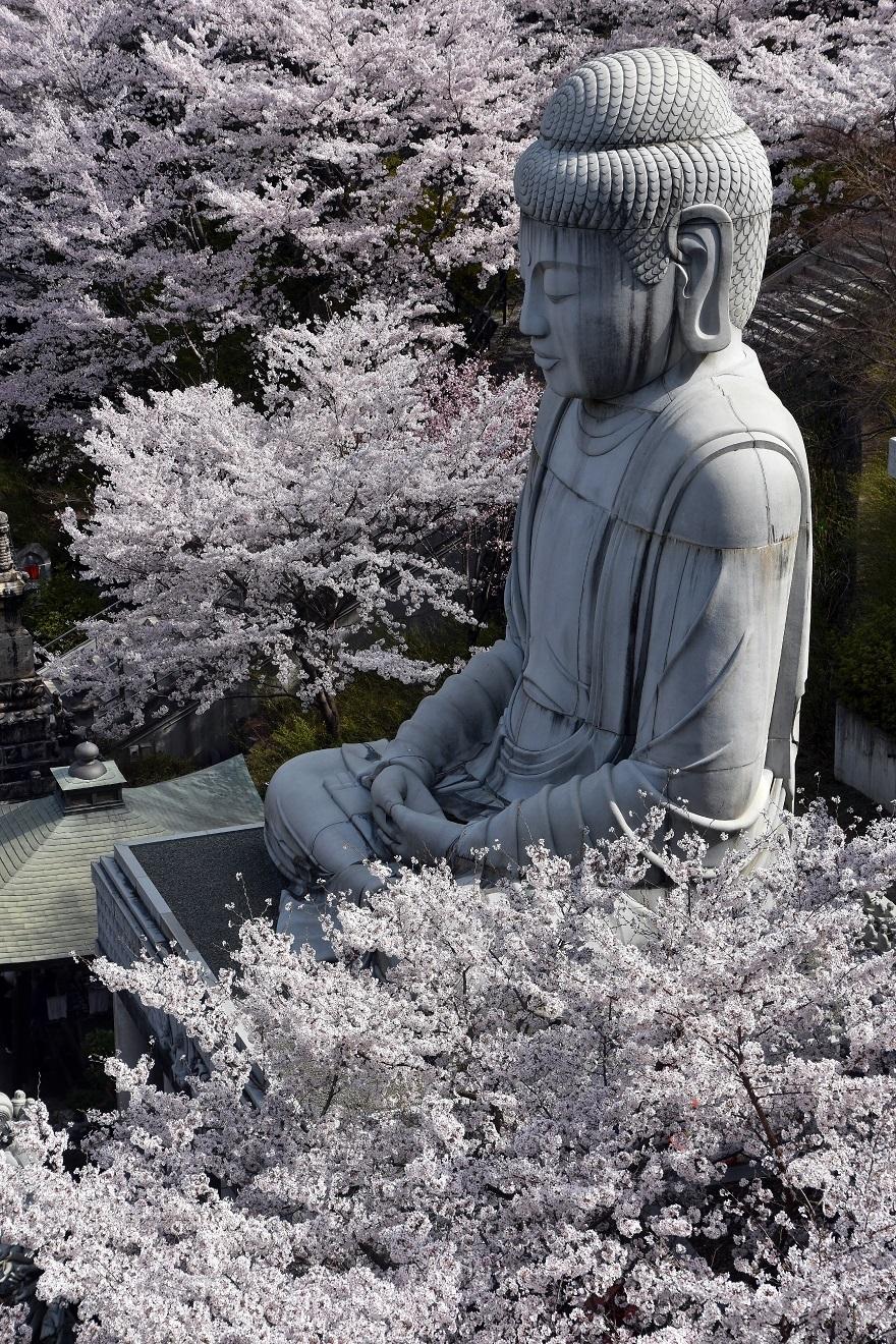 壺阪寺大仏桜 (1)