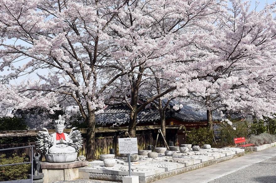 壺阪寺大仏桜 (3)