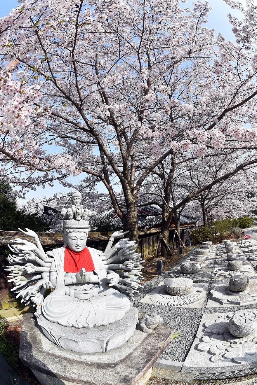 壺阪寺大仏桜 (2)