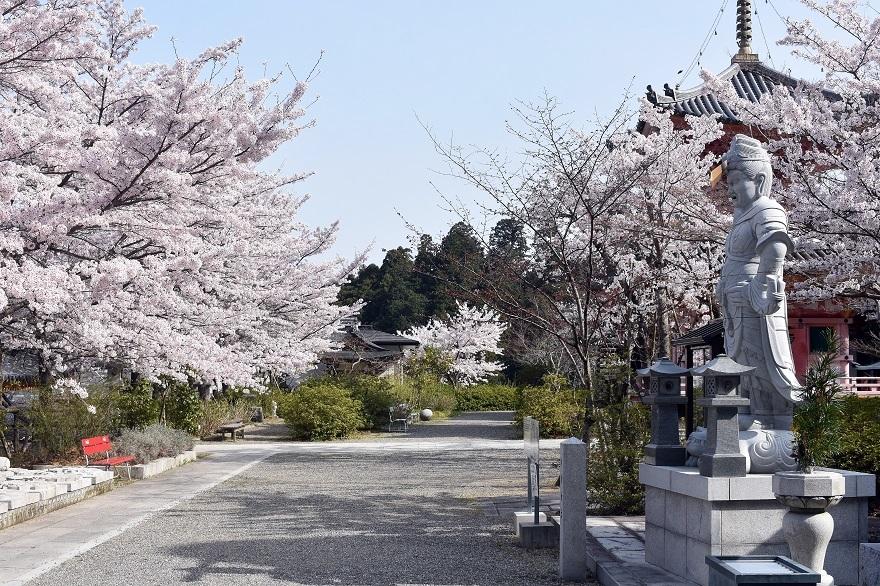 壺阪寺大仏桜 (4)