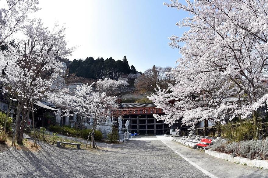 壺阪寺大仏桜 (06)