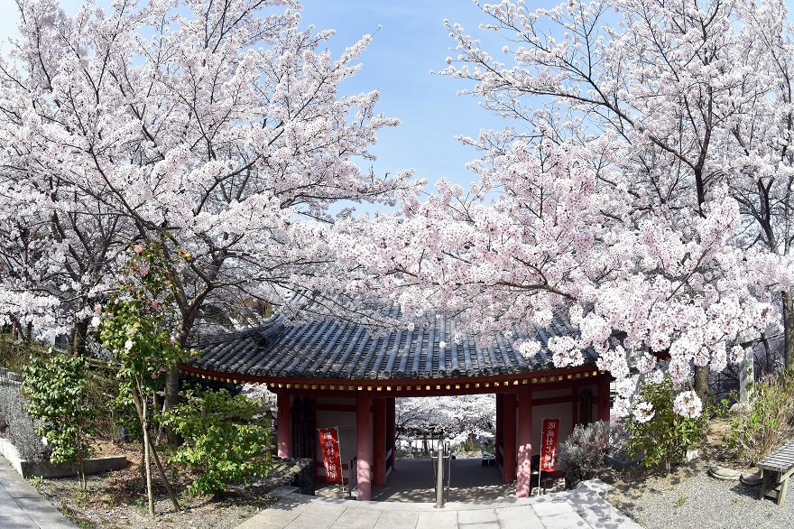 壺阪寺大仏桜 (6)