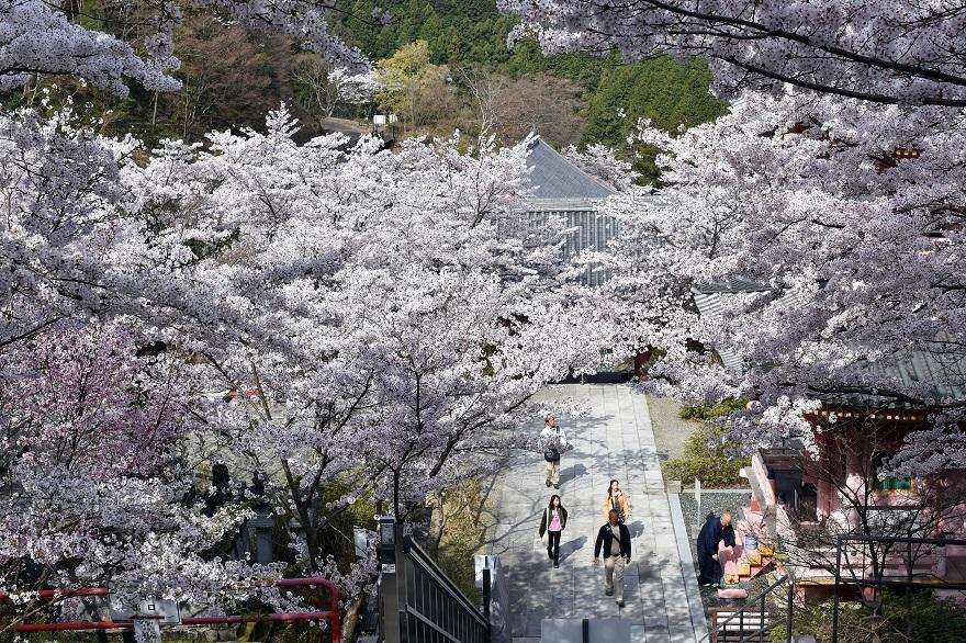 壺阪寺大仏桜 (8)