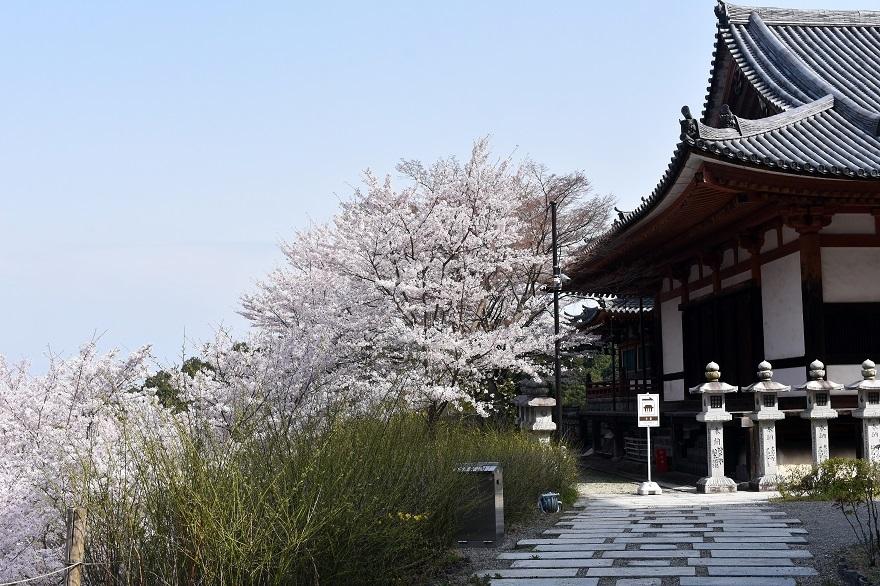 壺阪寺大仏桜 (9)