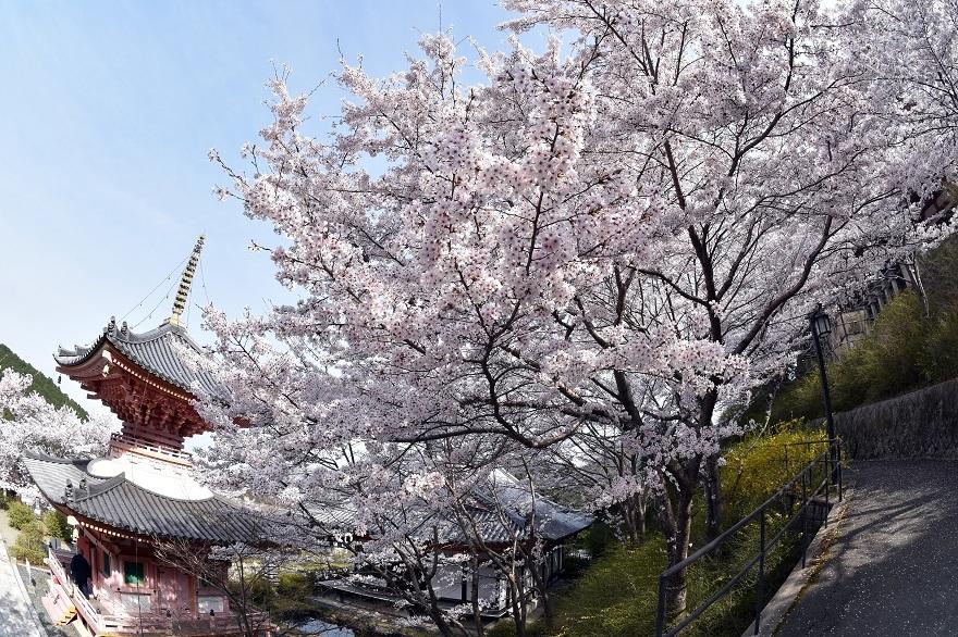 壺阪寺大仏桜 (15)