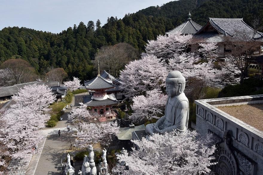 壺阪寺大仏桜 (17)