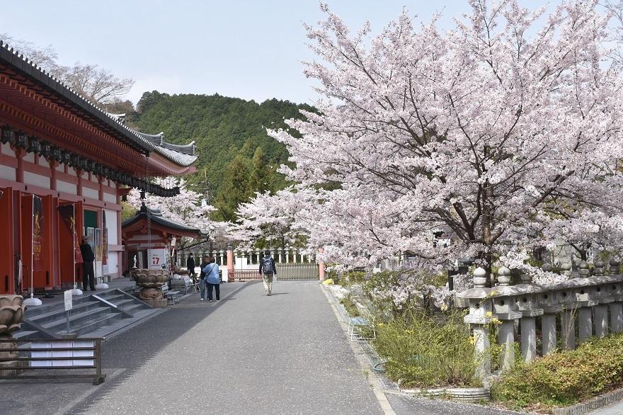 壺阪寺大仏桜 (23)