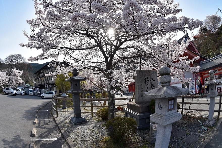 壺阪寺大仏桜 (25)