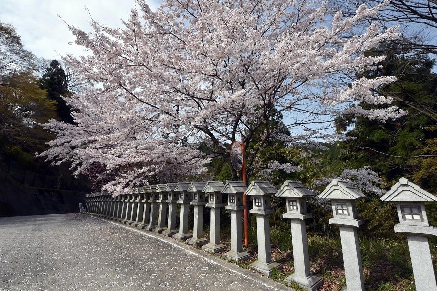 壺阪寺大仏桜 (26)