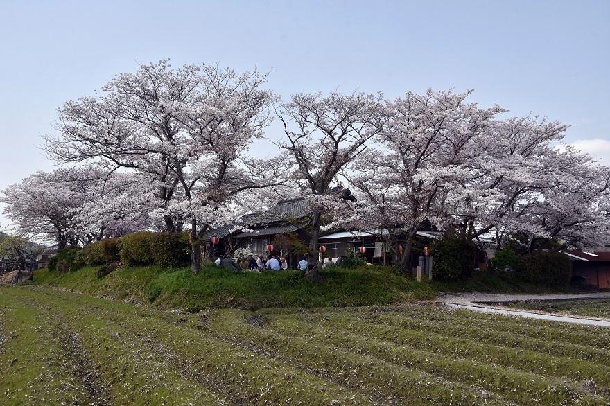 本薬師寺跡・桜 (0)