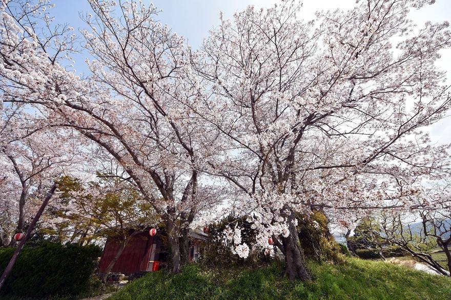 本薬師寺跡・桜 (1)