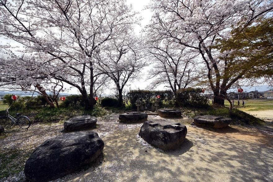 本薬師寺跡・桜 (2)