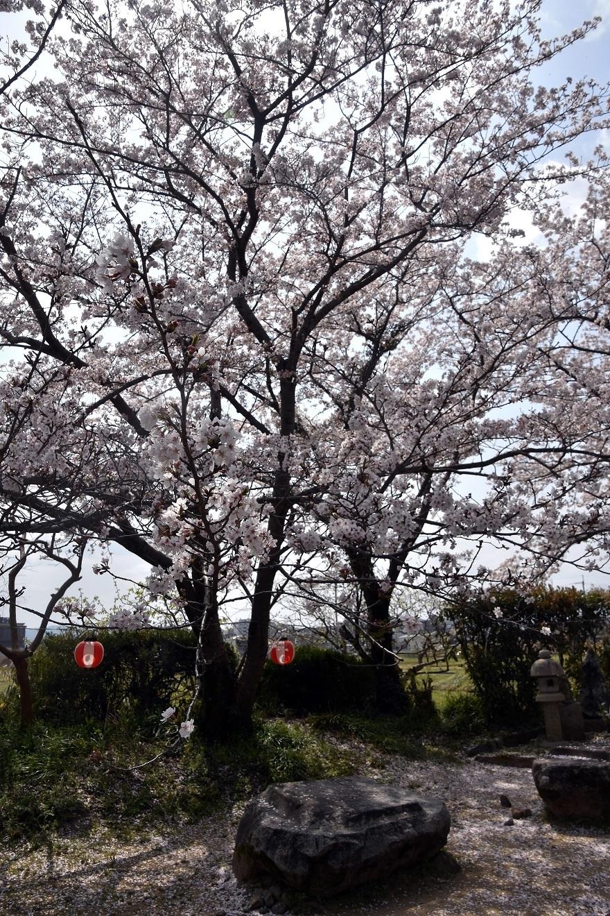 本薬師寺跡・桜 (5)