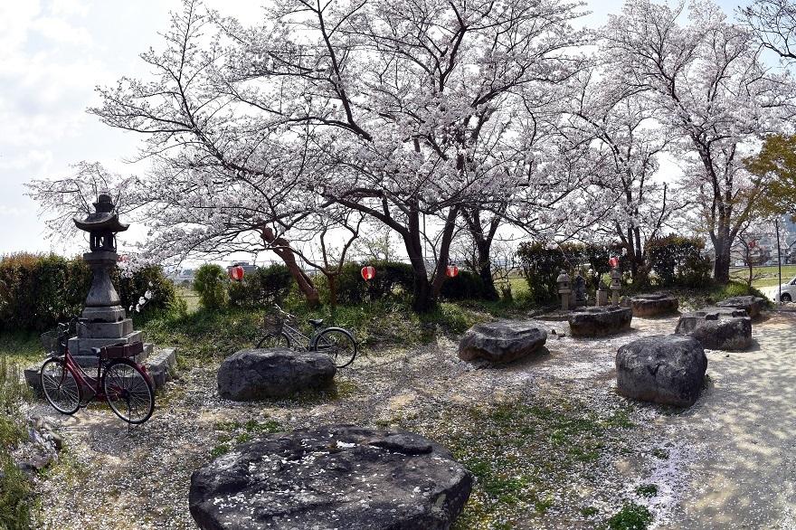 本薬師寺跡・桜 (8)