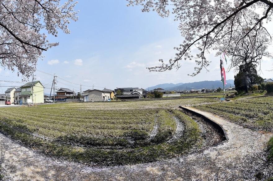 本薬師寺跡・桜 (10)