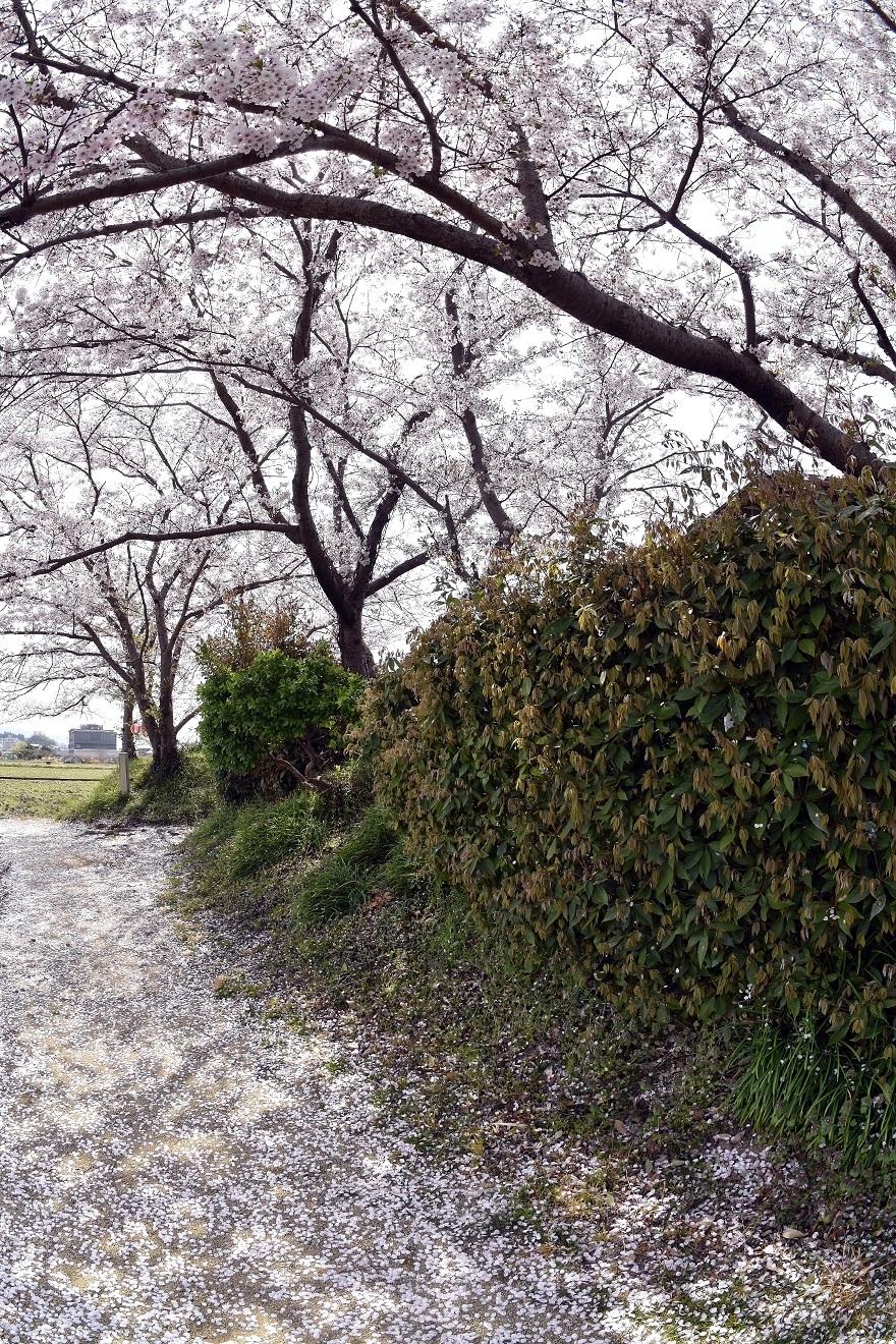 本薬師寺跡・桜 (9)