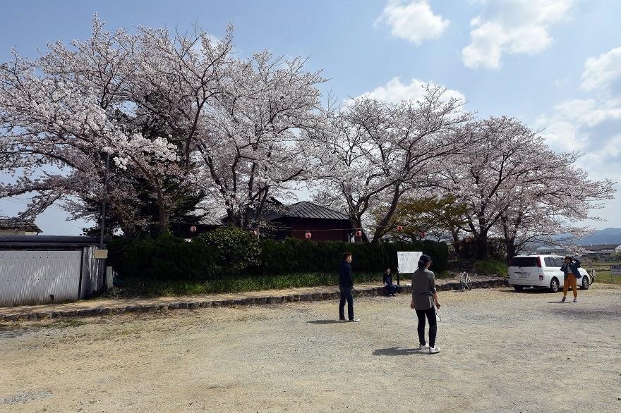 本薬師寺跡・桜 (12)
