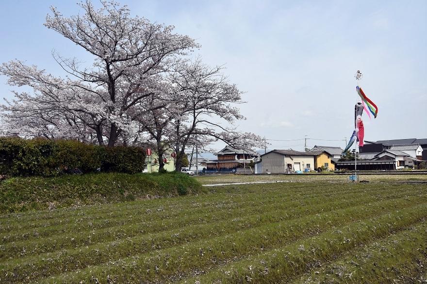 本薬師寺跡・桜 (13)