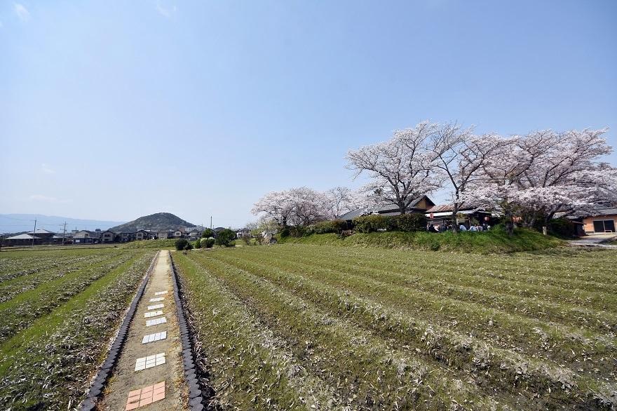本薬師寺跡・桜 (15)