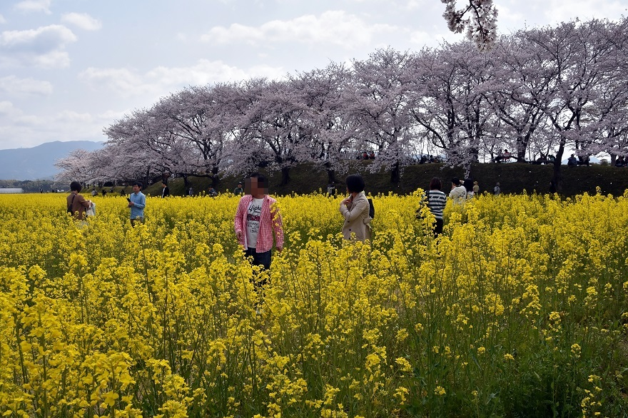 藤原京跡の桜 (0)