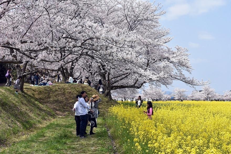 藤原京跡の桜 (2)