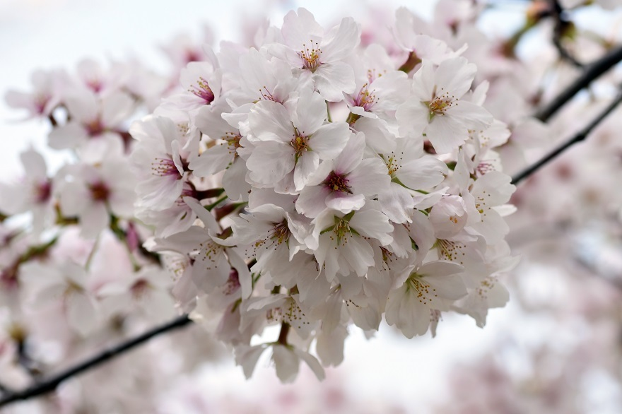 藤原京跡の桜 (3)